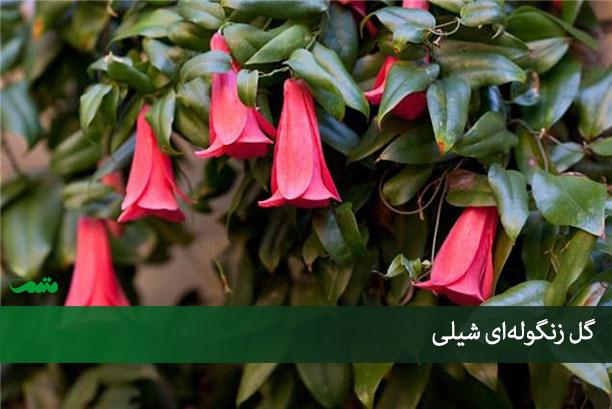 معرفی گل زنگوله ای شیلی - خاطرات سفر به شیلی