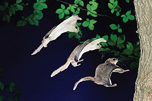 flying_squirrel_mtm00