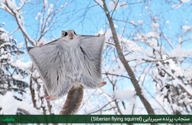 سنجاب پرنده سیبریایی