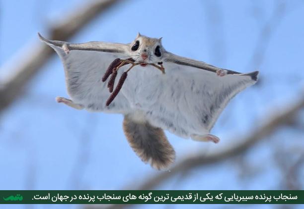 سنجاب پرنده سیبریایی - روسی