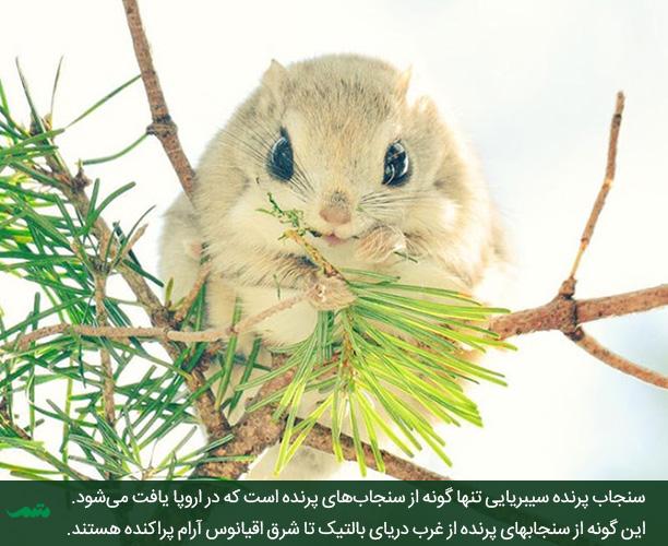 سنجاب پرنده ژاپنی