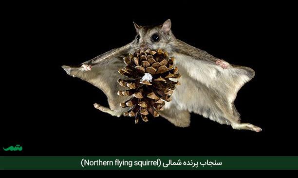 سنجاب پرنده