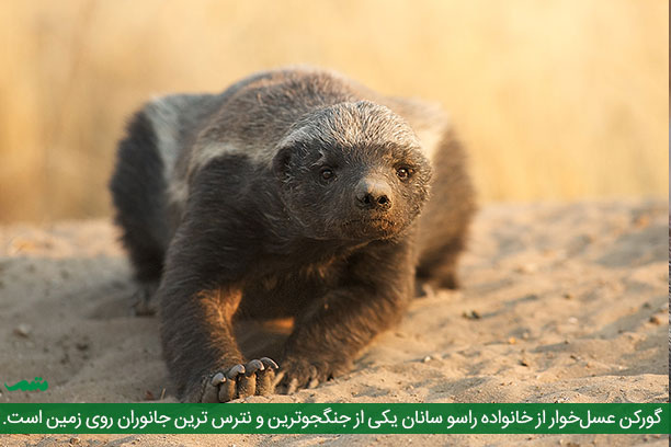 گورکن عسل خوار - تصاویر وحشی ترین حیوانات روی زمین