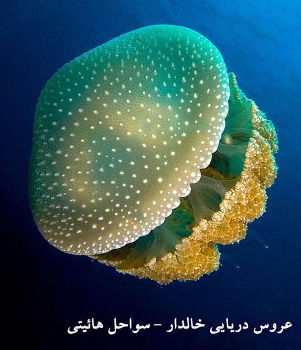 شکل عروس دریایی