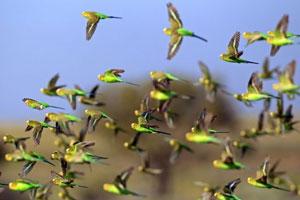 پرواز گروهی پرندگان