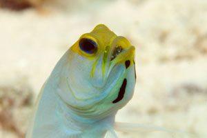 ماهی آرواره دار کله زرد - تصاویر ماهیها