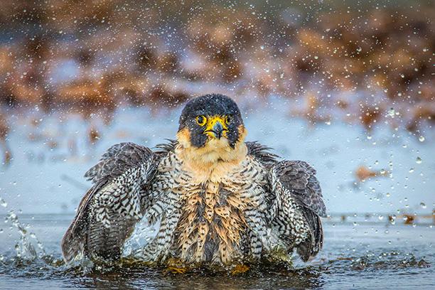 برندگان مسابقه عکاسی آدوبون ۲۰۱۷ با موضوع دنیای پرندگان معرفی شدند.