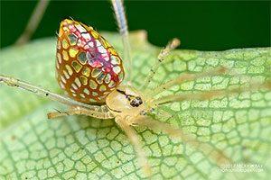 عنکبوت آینه ای با بدنی که نور را منعکس میکند