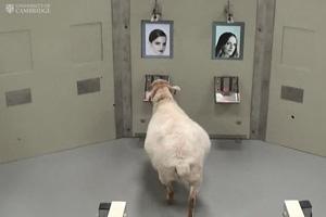 تشخیص چهره توسط گوسفندان