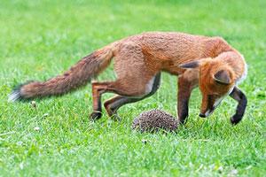 روباه یا جوجه تیغی - ماجرای آیزایا برلین