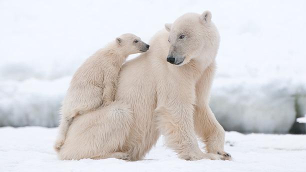 عکس خرس قطبی در برف و سرما با فرزندانش