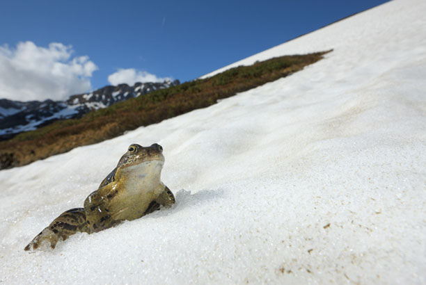 عکس قورباغه در برف