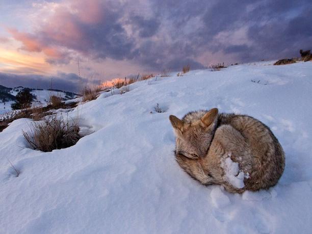 عکس زیبای روباه در برف