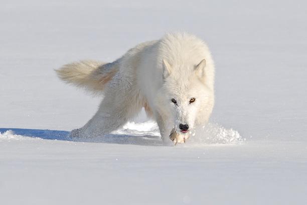 گرگ سفید در برف