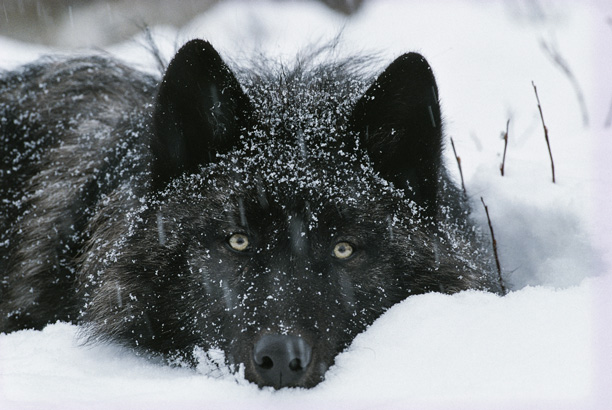 عکس گرگ سیاه در برف