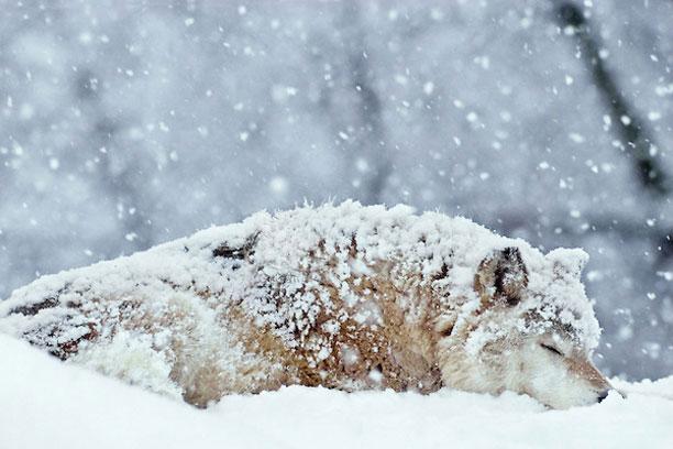 عکس گرگ در برف