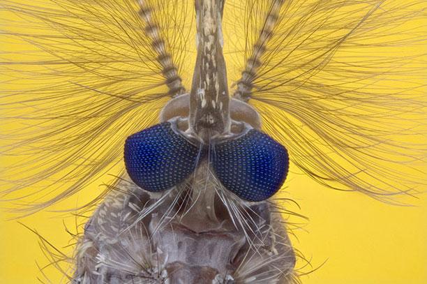عکاسی میکروسکوپی از پشه