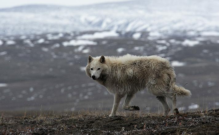 عکس گرگ وحشی زیبا
