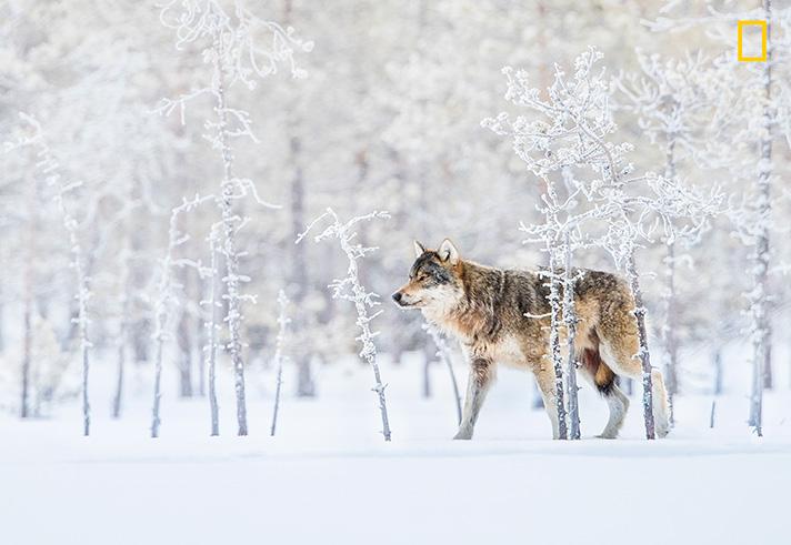 گرگ تنها - گرگ زمستانی