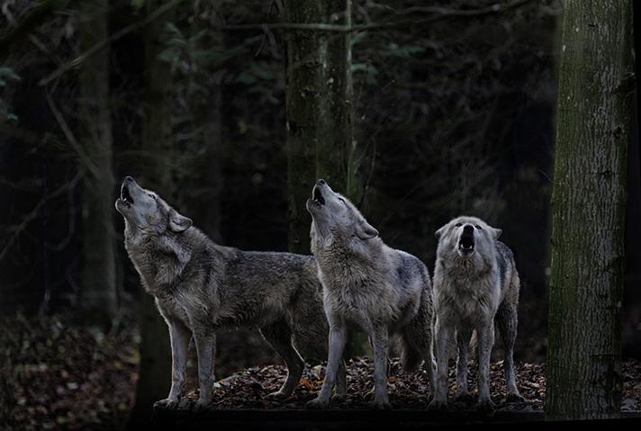 زوزه گرگ - گرگ وحشی - گرگ بزرگ