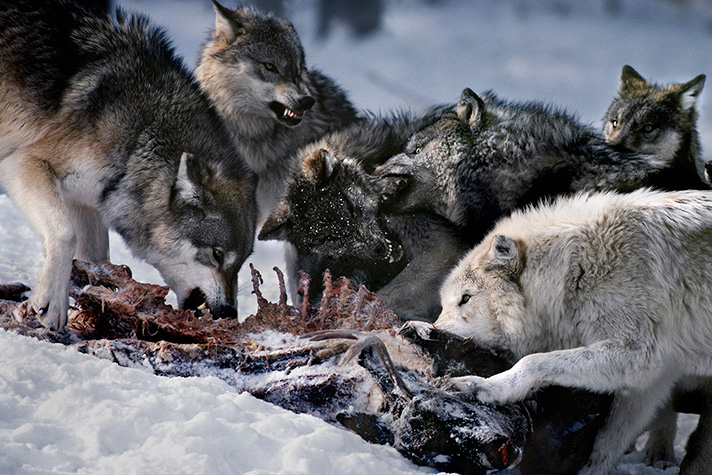گرگ وحشی - حمله گرگ - گله گرگها