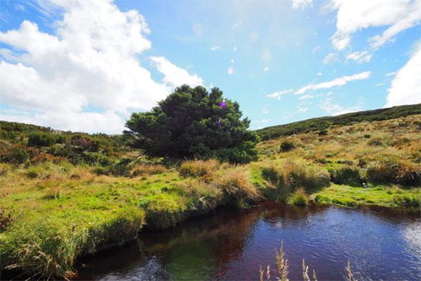 تک درخت تنها - تنها ترین درخت در نیوزیلند