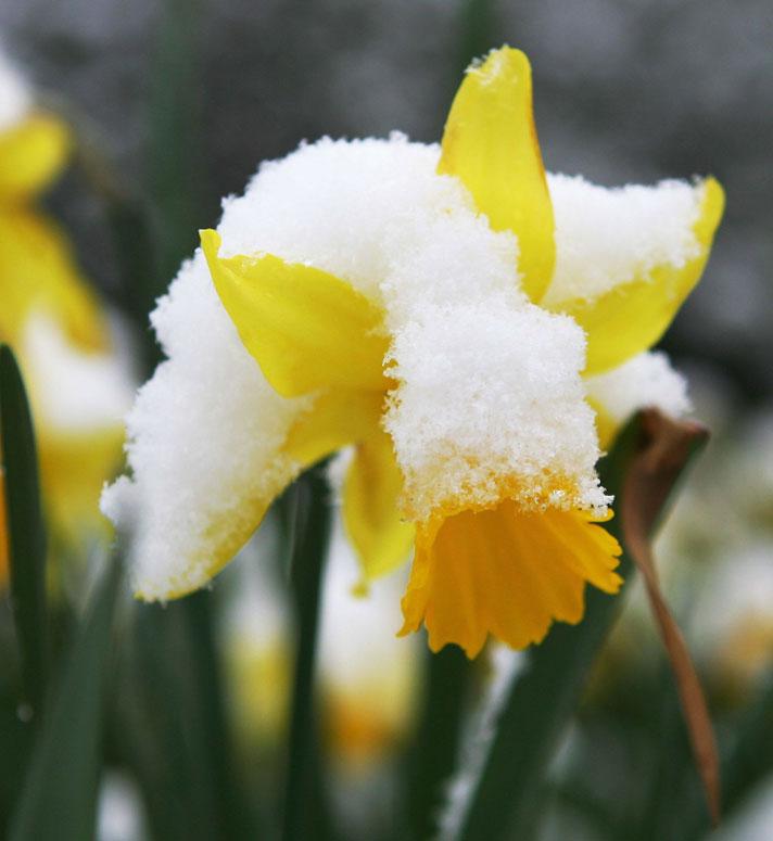 گل نرگس در زمستان