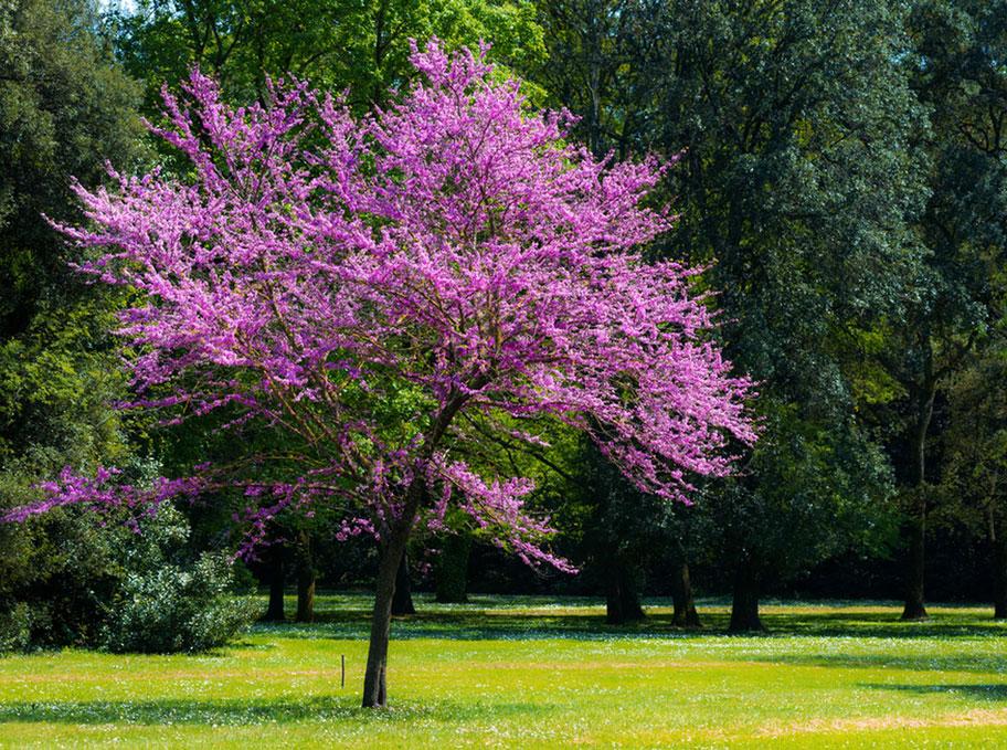 عکس درخت ارغوان