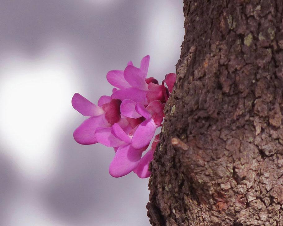 گل ارغوان روییده بر تنه درخت