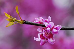 گل درخت ارغوان