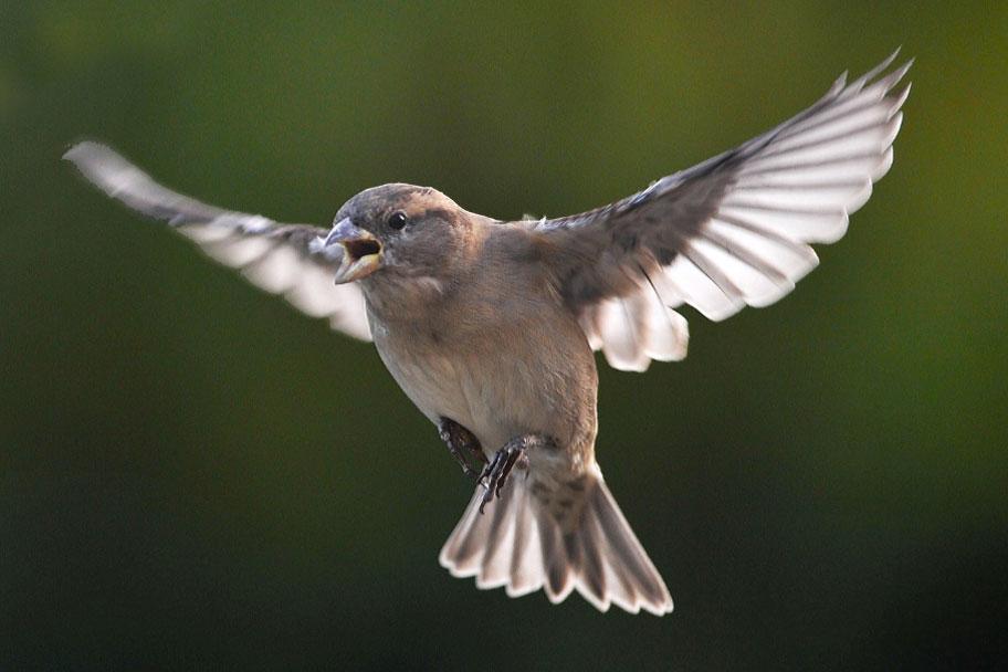 عکس گنجشک در حال پرواز