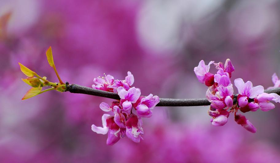 عکس گل ارغوان