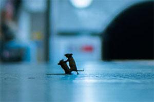 موش ها در حال دعوا در مترو لندن