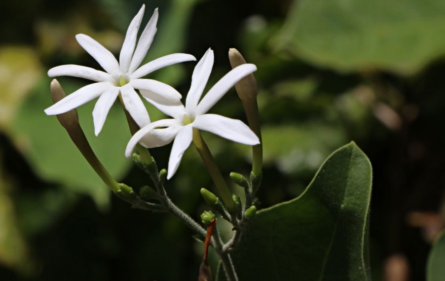 عکس گل یاس آفریقایی