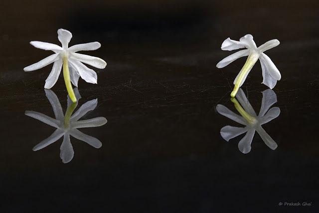 عکس مینیمال گل یاس