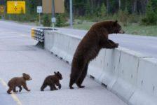 پل هایی برای عبور حیوانات و حفاظت از آنها